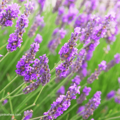 Plants that are a Natural Mosquito Repellent